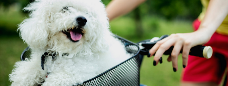 white dog in a bicycle basket