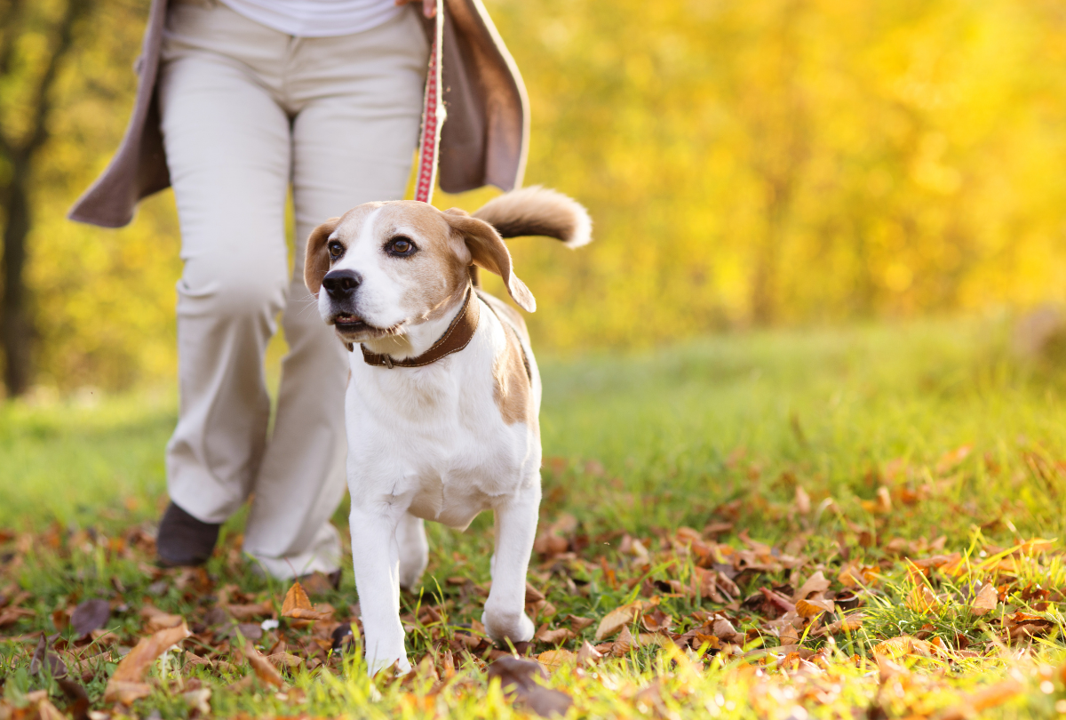 Dog on a walk with owner in autumn setting