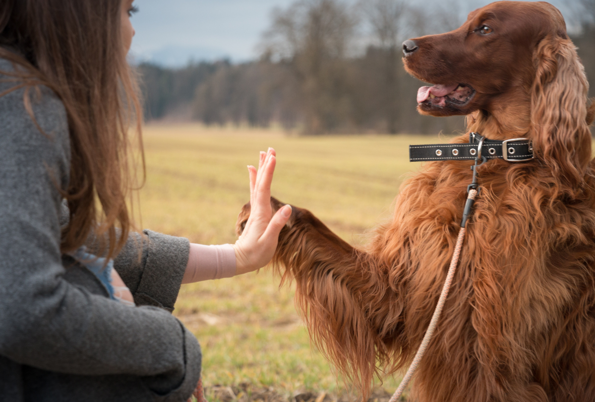 Irish Retriever offers a paw