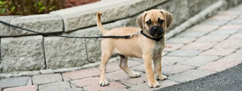 a brown puppy on a leash standing on the pavement