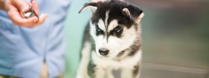 A Husky puppy at the vet