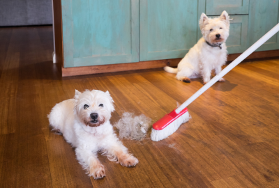 Two white dogs sitting in the kitchen and a broom sweeping dog har