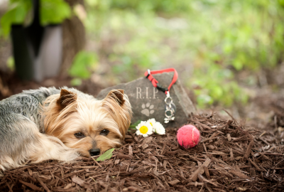 A little dog curled up at the graveside of another dog.