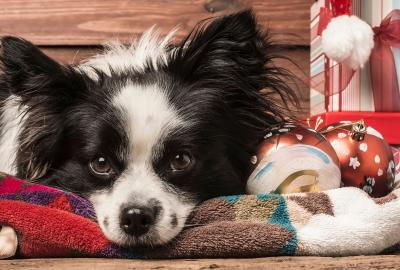 Black and white dog looks directly into the camera with Christmas decorations in the background