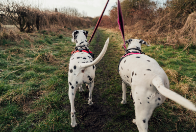 dalmations wag their tails