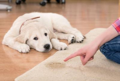 A labrador puppy looks guilty lying near a wee mark on the carpet