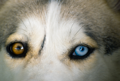 different coloured eyes on a dog