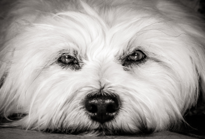 Close up white dog with intense eyes