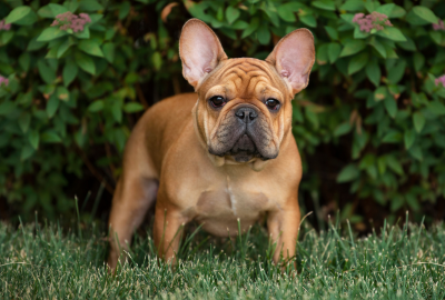 french bulldog in a garden