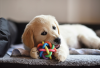 Lab puppy chewing on a toy